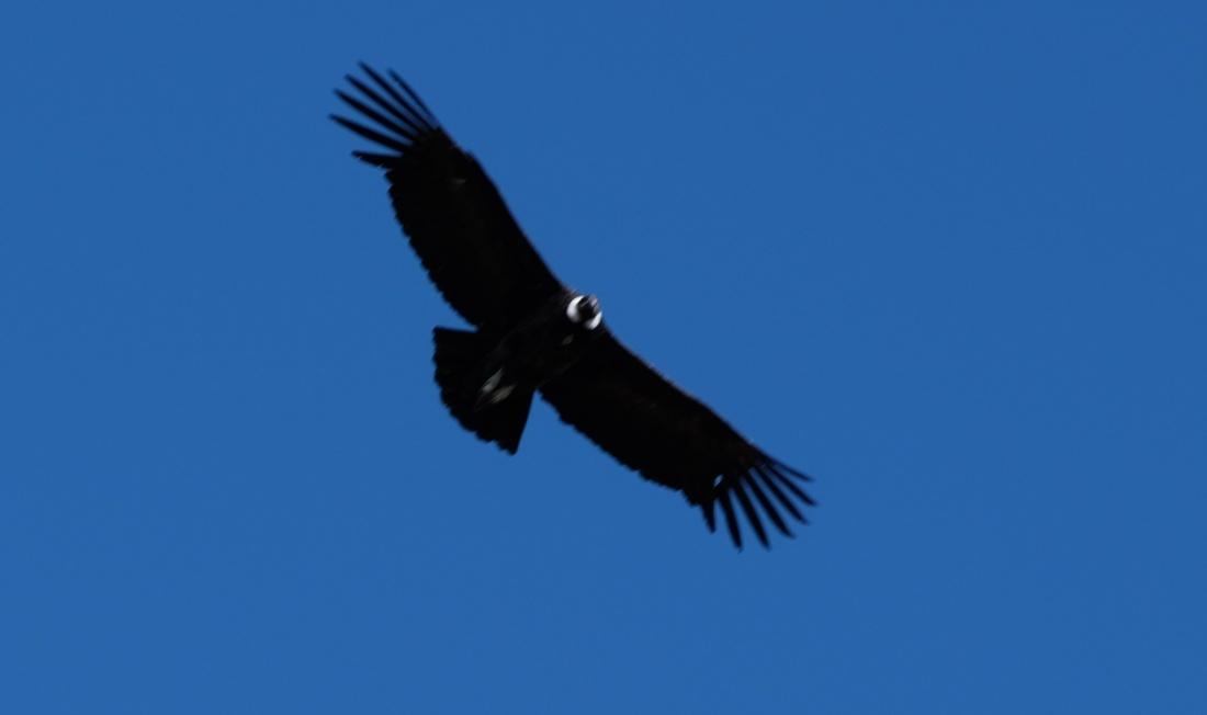 Condor wingspan resize